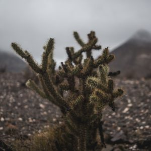 A picture of a jumping cholla cactus on a rainy day.
